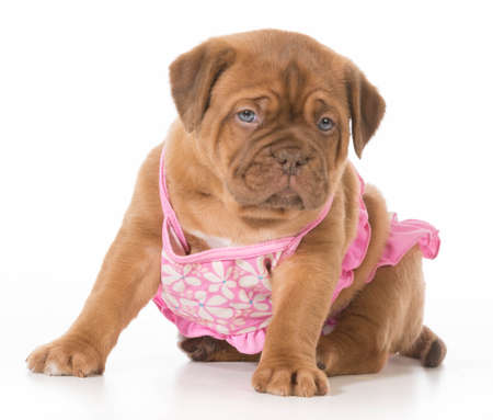 female puppy - dogue de bordeaux wearing pink bikini isolated on white background - 6 weeks old Banco de Imagens