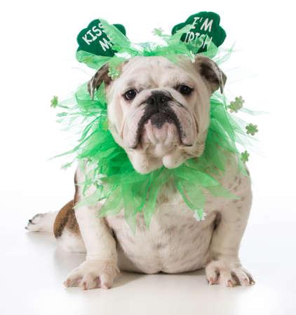 St. Patricks Day dog - english bulldog wearing kiss me I'm Irish headband isolated on white background