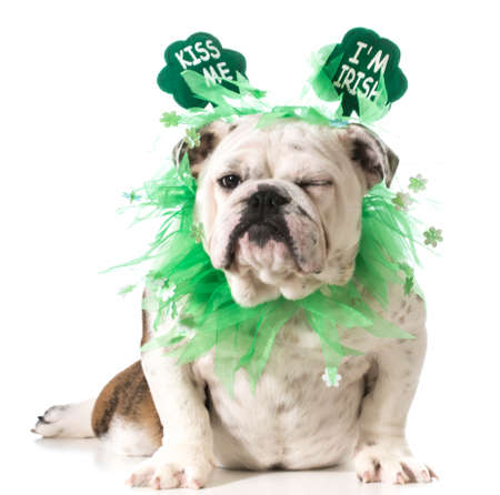 St. Patricks Day dog - english bulldog wearing kiss me Im Irish headband isolated on white background