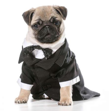 formal dog - pug wearing tuxedo isolated on white background Standard-Bild