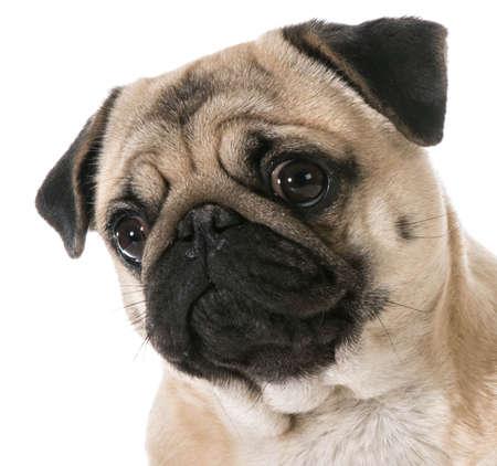 pug head portrait isolated on white background Banco de Imagens