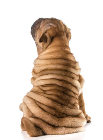chinese shar pei puppy looking up isolated on white background 4 months old