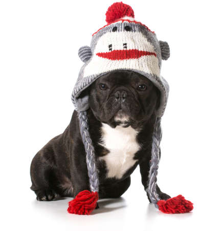 french bulldog wearing winter hat Stock Photo