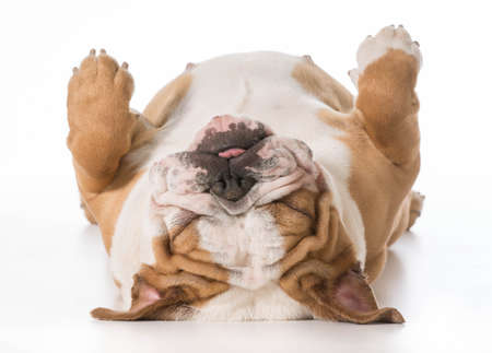 english bulldog laying on back sleeping - 7 months old Banque d'images