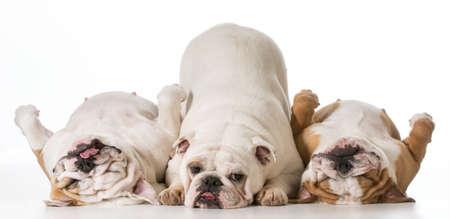 three english bulldogs isolated on white background