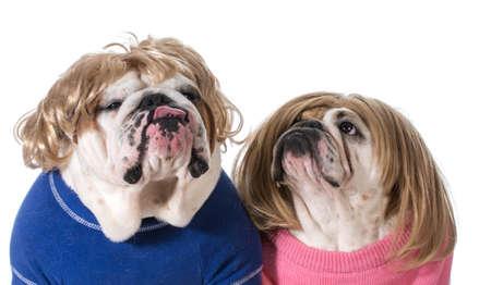 dog couple - english bulldog male and female wearing wigs