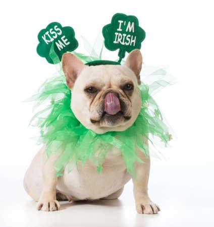 St Patricks Day dog - french bulldog Stock Photo