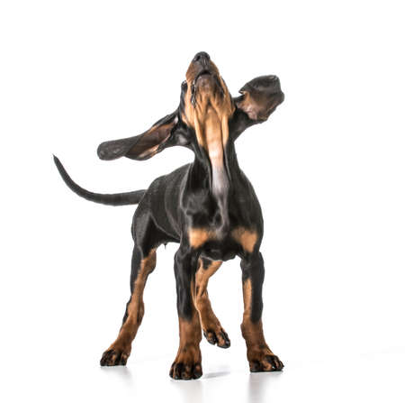 cute puppy - black and tan coonhound looking up Stok Fotoğraf - 27613730