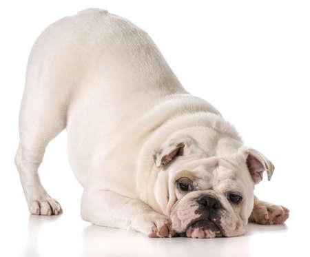 Engels bulldog met zwerver omhoog in een toneelstuk boog op een witte achtergrond