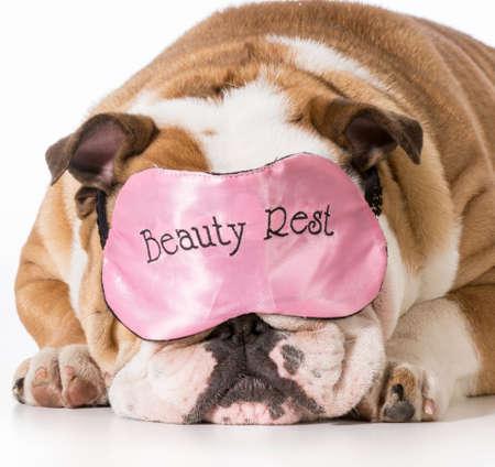 english bulldog wearing beauty rest sleeping mask Stock Photo - 28074794