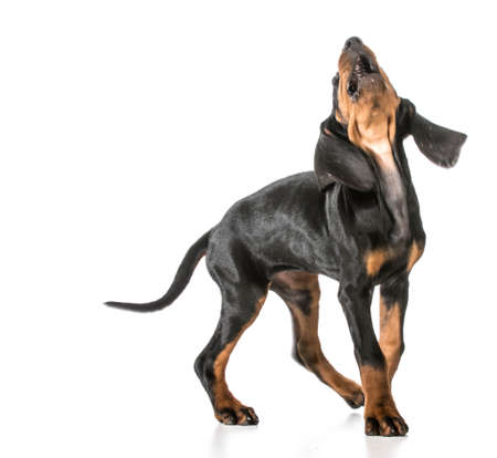 hond blaffen - black and tan coonhound met open mond en ga blaffen Stockfoto