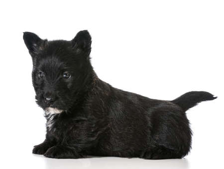 scottish terrier puppy sitting isolated on white background Фото со стока