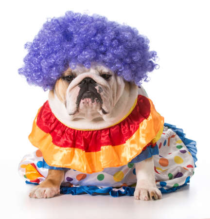 english bulldog wearing clown costume