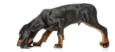 hunting dog - black and tan coonhound sniffing the ground on white background 스톡 콘텐츠