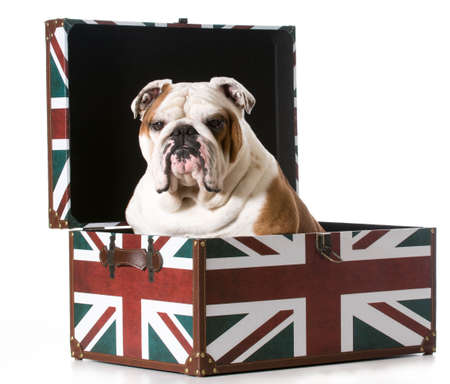english bulldog sitting inside a british flag trunk