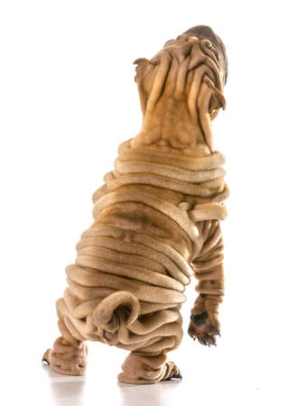 dog dancing - chines shar pei standing on back legs dancing isolated on white background