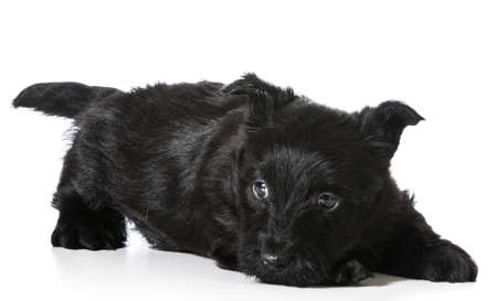 Scottish Terrier puppy in play bow isolated on white background - 4 weeks old Imagens