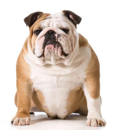 english bulldog portrait on white background