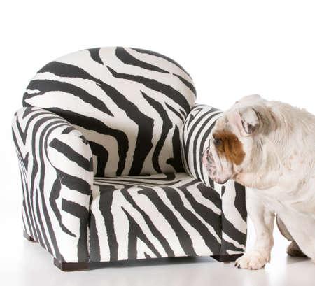 Konzept Der Hund Auf Möbel Erlaubt Englisch Bulldogge Lizenzfreie