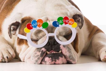 English Bulldog Wearing Birthday Glasses On White Background Stock