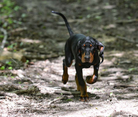black and tan coonhound walking on a trail in the woods