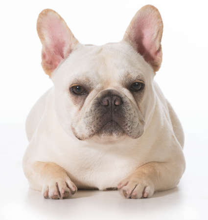 french bulldog puppy laying down on white background Фото со стока