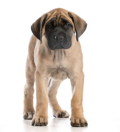 english mastiff puppy standing looking at viewer on white background Stock Photo