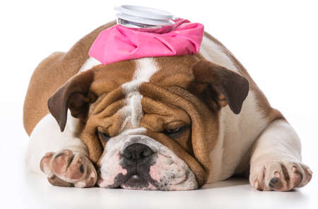 english bulldog puppy with pink water bottle on head on white  Stok Fotoğraf