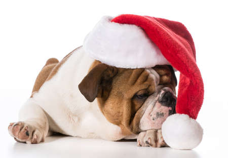 christmas dog - english bulldog puppy wearing santa hat on white  免版税图像