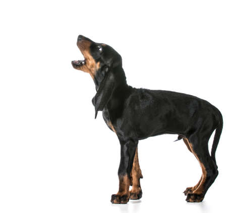 dog barking - black and tan coonhound barking isolated on white Stok Fotoğraf