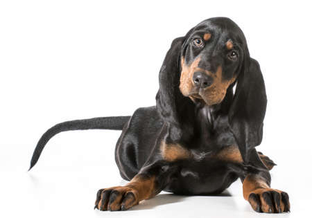 cute puppy - black and tan coonhound laying down on white
