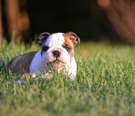 english bulldog puppy laying down eating the grass Imagens - 30021403