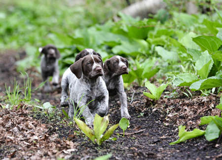 german shorthaired pointer litter running in the forest - 8 weeks old Imagens