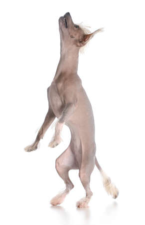 dog dancing - chinese crested puppy dancing on white background