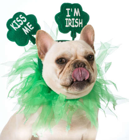 St Patricks Day hond - franse bulldog