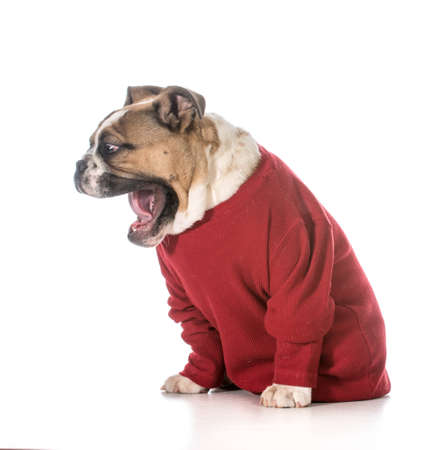 english bulldog puppy with with mouth open as though yelling on white background