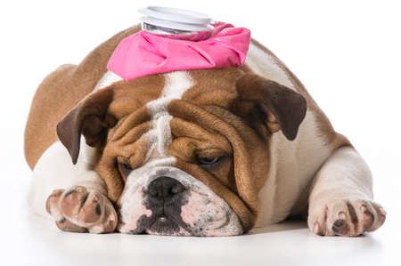 english bulldog puppy with pink water bottle on head on white background Foto de archivo