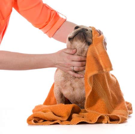 dog bath - french bulldog being dried off on white background