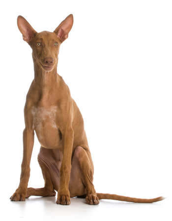 funny dog - pharaoh hound with funny expression on white background