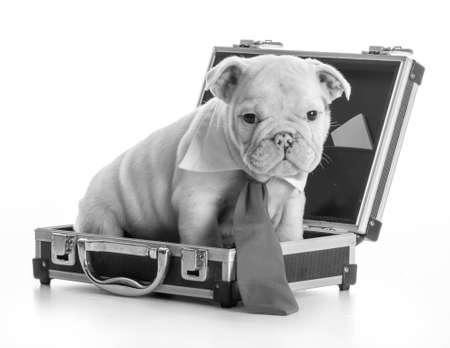 english bulldog puppy wearing tie sitting inside briefcase on white background Stock Photo