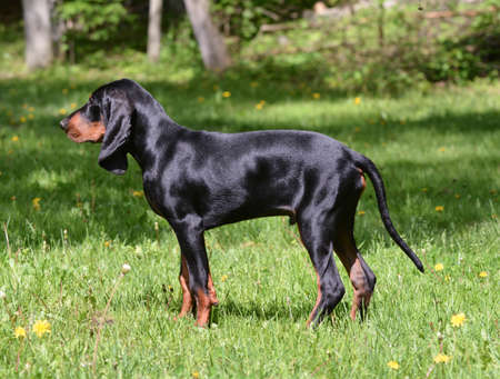 black and tan coonhound in the woods Reklamní fotografie