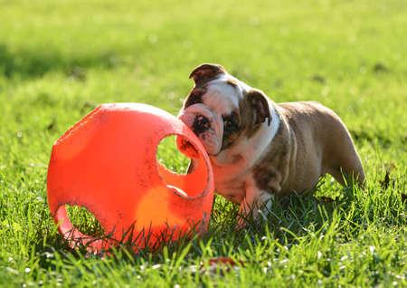 英語のブルドッグ草 - 9 週齢で外ボールで遊ぶ子犬 写真素材