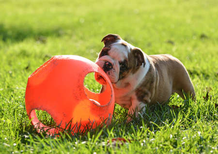 puppy playing with a ball outside in the grass - 9 week old english bulldog