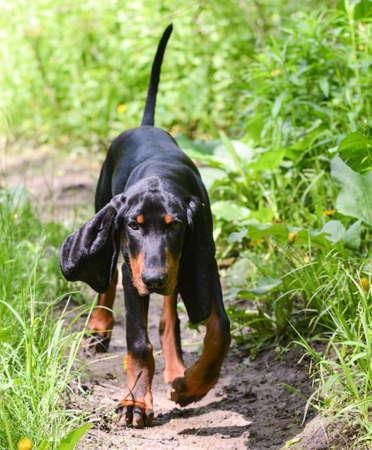 Black and Tan Coonhound zu Fuß auf einem Weg Standard-Bild - 35219794
