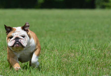 english bulldog running outside in the grass Stock Photo