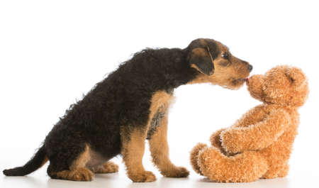 cute puppy reaching out to kiss stuffed teddy bear - airedale terrier Standard-Bild