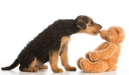 cute puppy reaching out to kiss stuffed teddy bear - airedale terrier Foto de archivo