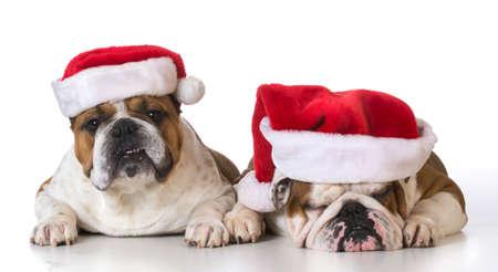 Santas perro - bulldog inglés con sombreros de Santa en el fondo blanco Foto de archivo - 35220522