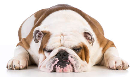 english bulldog laying down on white background - male 5 years old Stock Photo