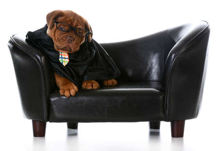 business dog - dogue de bordeaux wearing business clothes sitting on a leather couch on white background